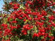 hawthorm tree with berries